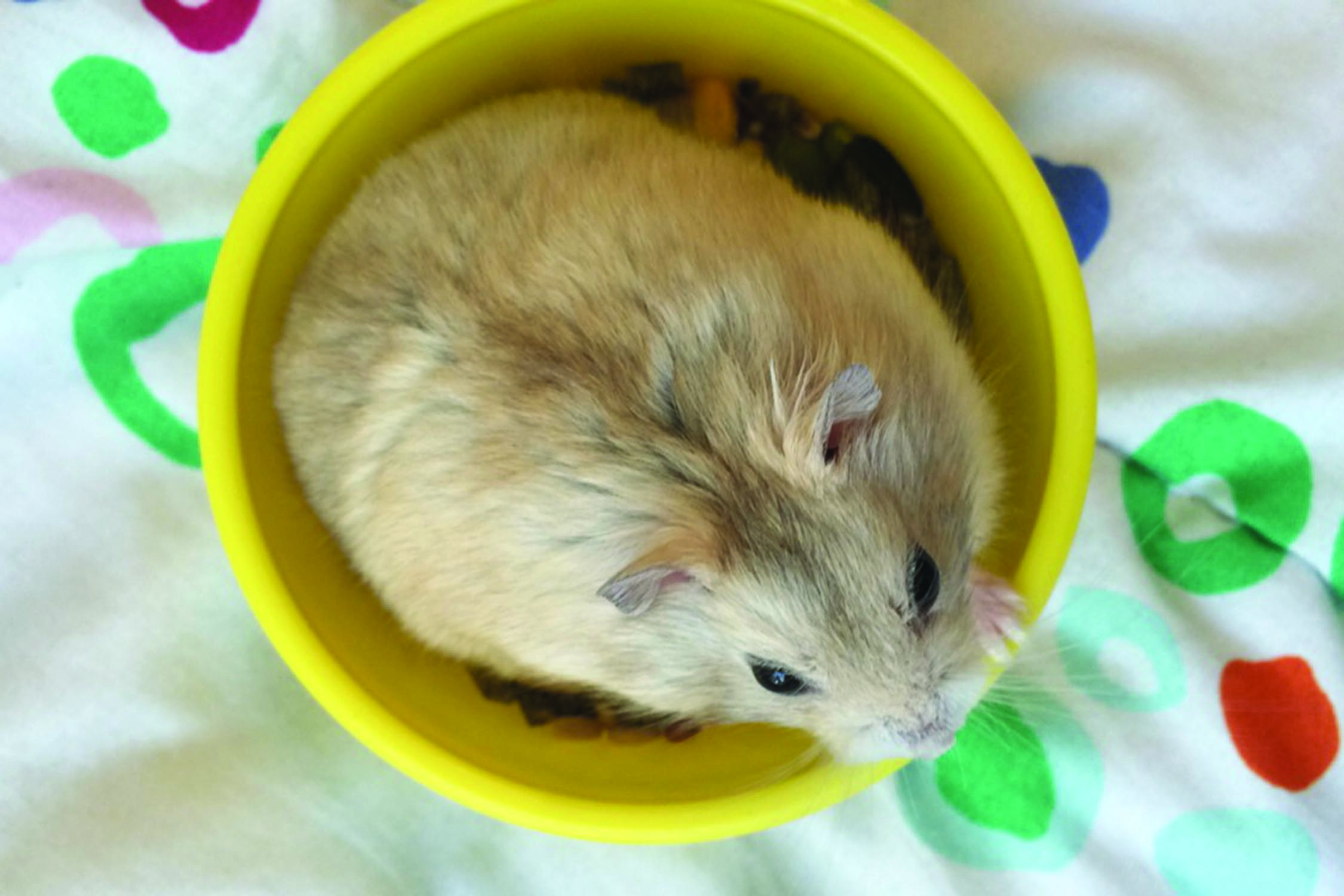 Glen Coco, a Syberian dwarf hamster, sits in his food bowl as he experiences life in a dorm. Hamsters along with any furry pets are banned from on-campus housing. Photo courtesy of anonymous pet owner.