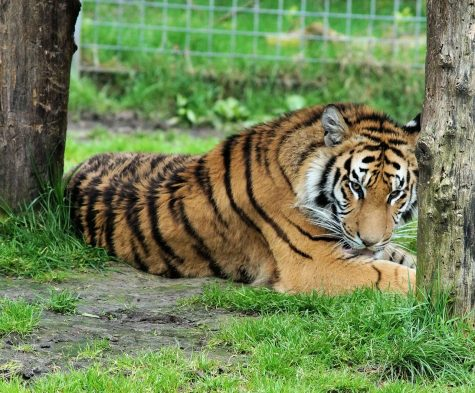 A tiger in front of a fence lying on green grass.