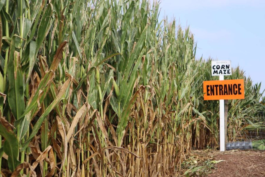 The entrance of Bauman's corn maze looms ahead